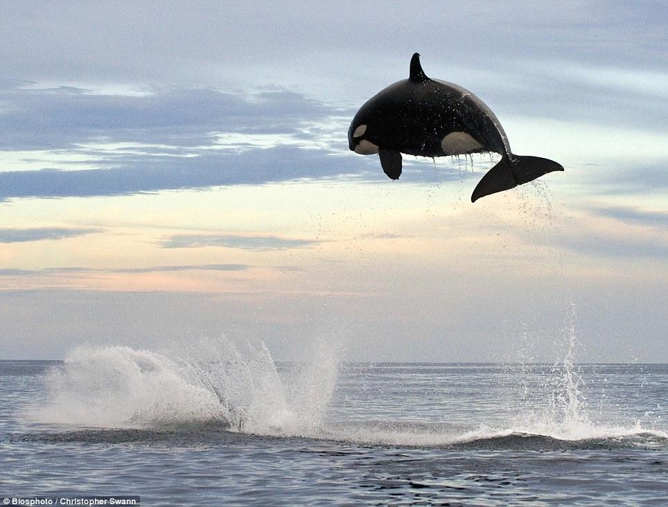 salto-orca-atrapar-delfin-2